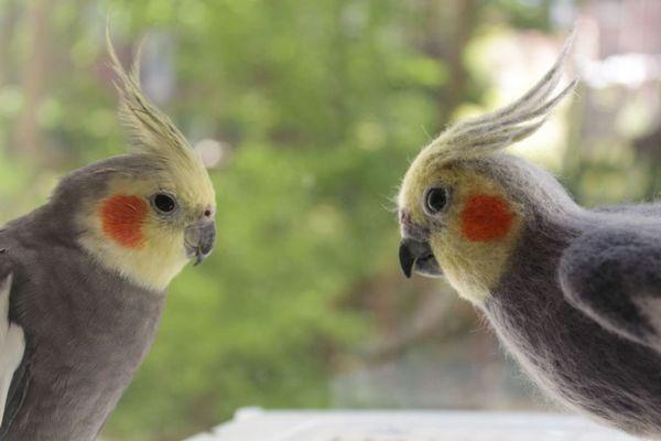Як і всі птахи, Кореллі видають різні звуки: від свисту до співу
