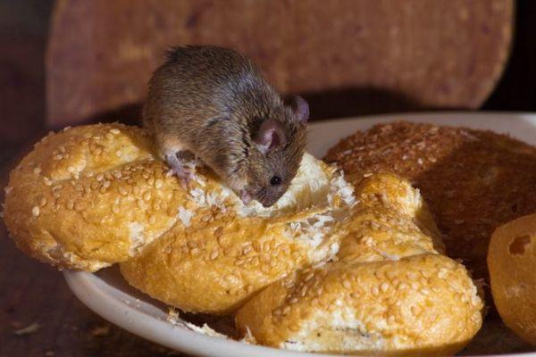 миша гризе булочку з кунжутом