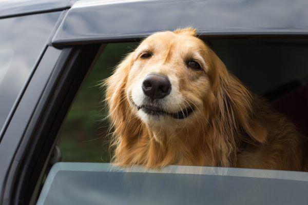 Куче в жегата в колата