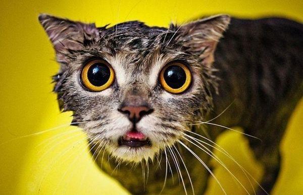 мокрий кіт