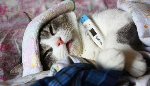 Як зрозуміти, що кішка захворіла і як збити температуру