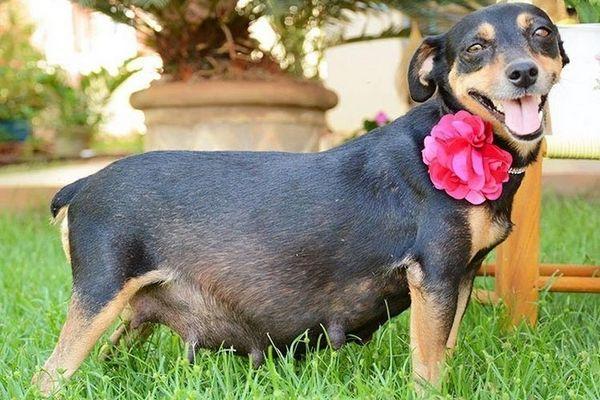 Вагітна собака з квіткою на шиї