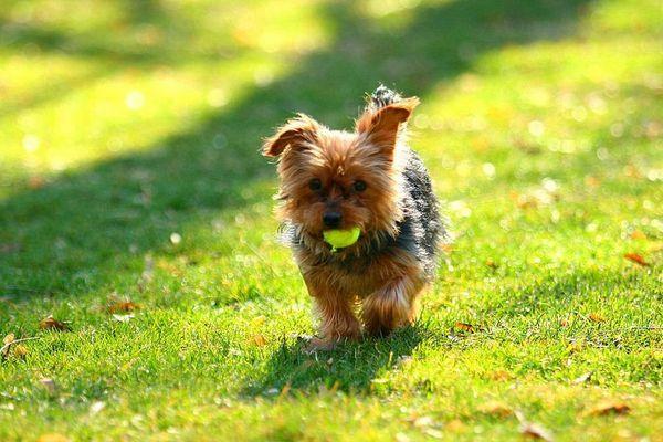 Крім привчання до лотка вихована собака будь-якого розміру повинна знати основні команди