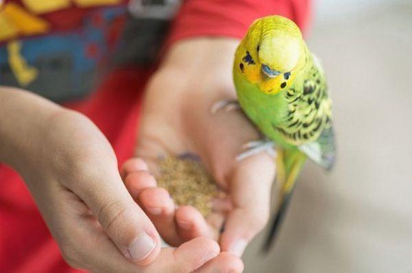 Харчування хвилястих папуг
