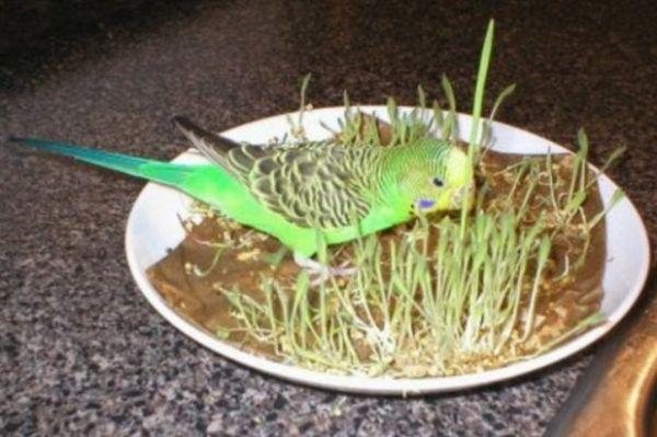 Папуга їсть пророщене зерно