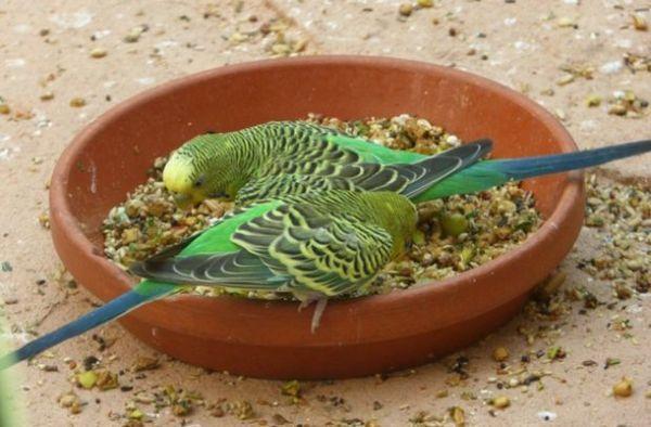 Папуги їдять кашу