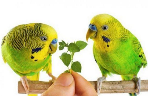 харчування папуг