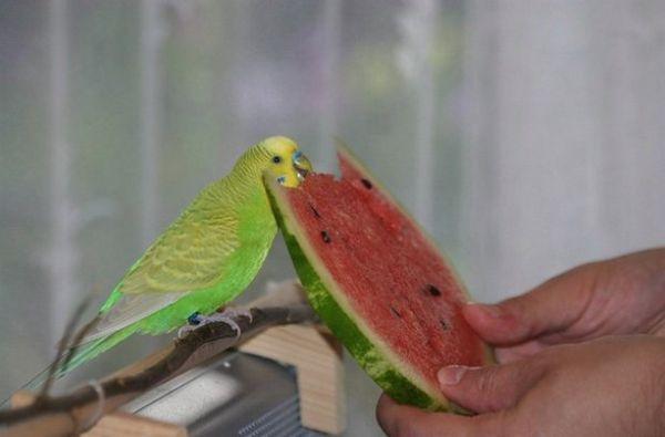 харчування папуги