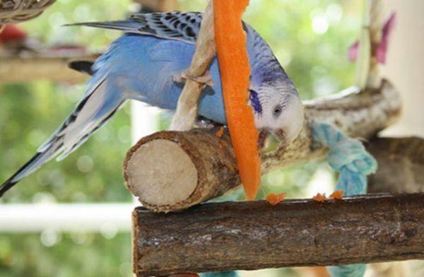 Хвилястий папуга їсть моркву