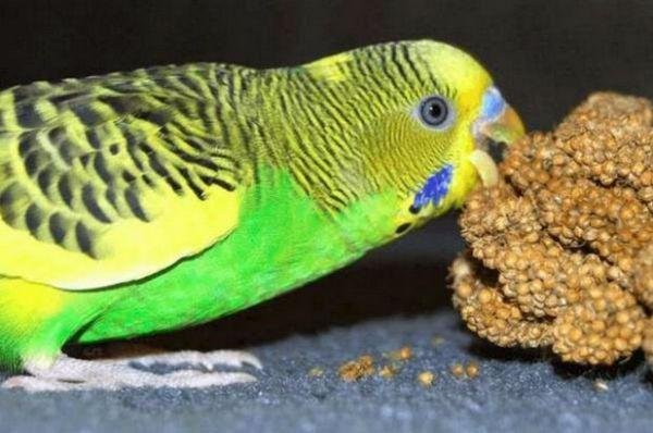 Хвилястий папуга їсть