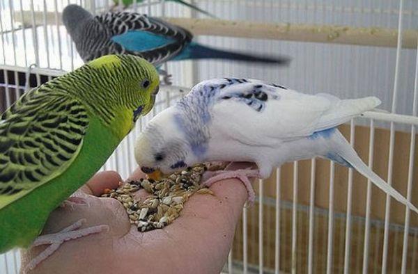 Хвилясті папуги їдять