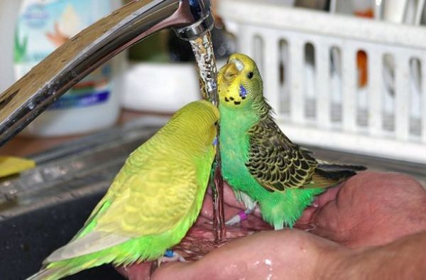 Хвилясті папуги п`ють воду