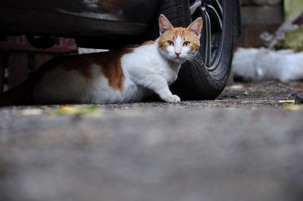 Кот під машиною