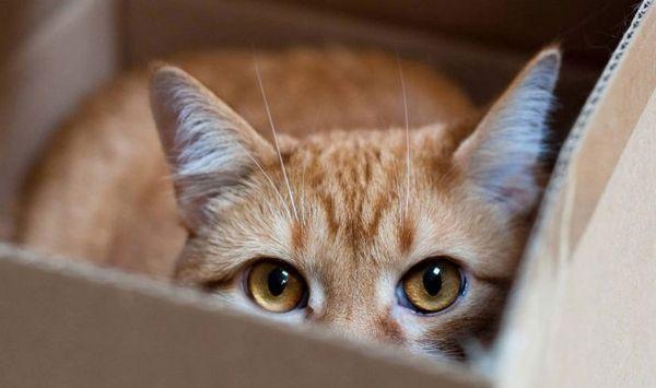 Кот в коробці