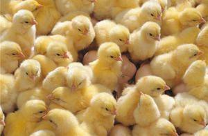 Как правилно да идентифицирате симптомите на заболявания при пилета и да ги лекувате