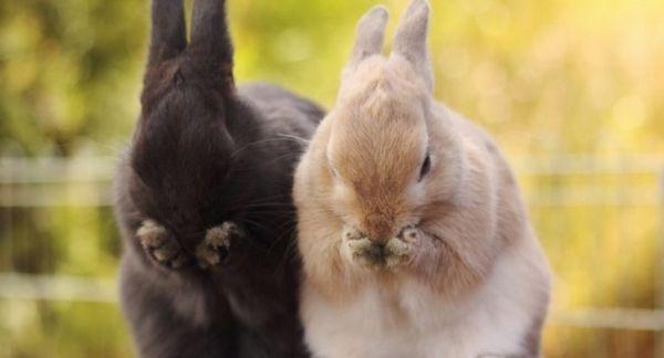 Як правильно підстригти кігті домашньому кролику?