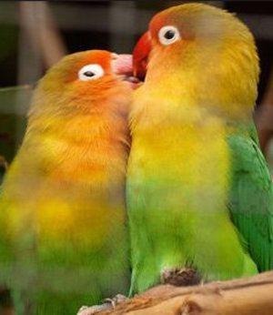 Как да се грижим за влюбените птици