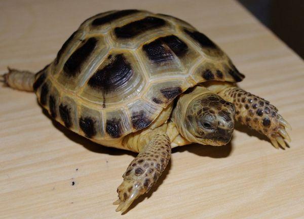Ako sa správne starať o suchozemskú korytnačku doma