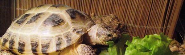 Ako sa správne starať o suchozemskú korytnačku - zriadenie terária, kŕmenie, kúpanie