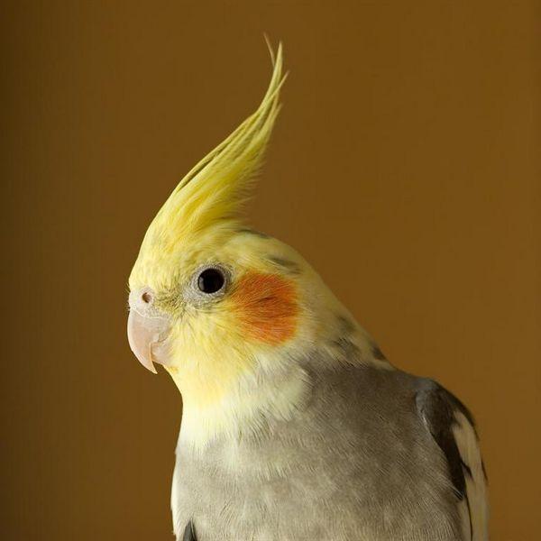 Гарний папуга Кореллі