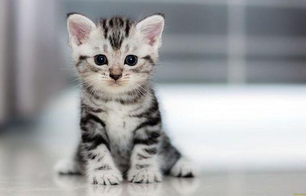 Найкраще брати кошеня, коли йому вже виповнилося 3 місяці, тоді привчити до лотка буде простіше