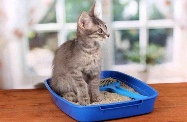 Думка, що кошеняті потрібен маленький лоток, помилково, вихованець зростає