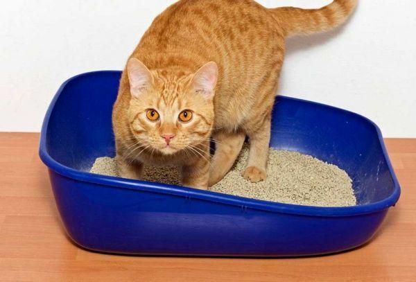 Забезпечте тварині комфортні умови і він швидко привчитися до лотка