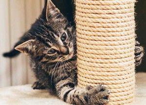 Як слід привчати кошеня до когтеточке фото