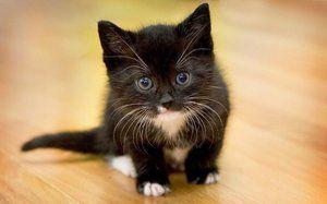 Чорний кошеня з білими вусами