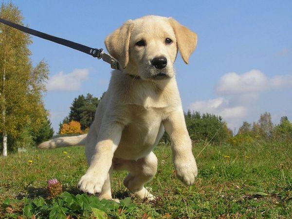 Після того, як щеня перестав звертати увагу на нашийник, пристебніть до нього повідець