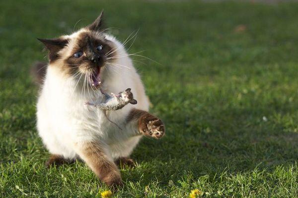 Кот ловить миша