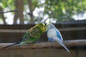 хвилясті папуги