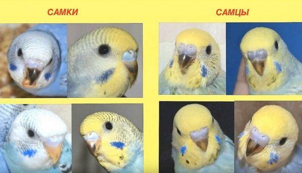 Як розрізнити підлогу хвилястих папуг