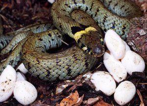 Как се размножават змии?