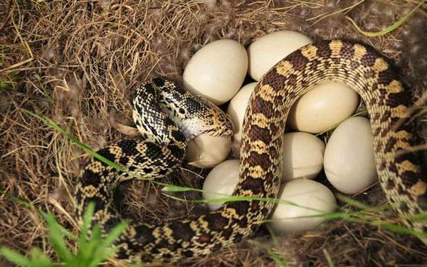 Tradičné znášanie vajec