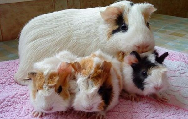 Морська свинка з дітками