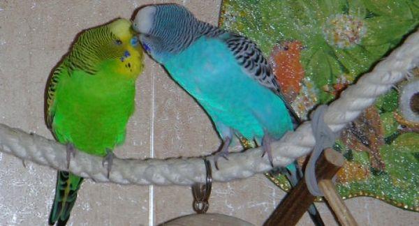 Гойдалка для папуг