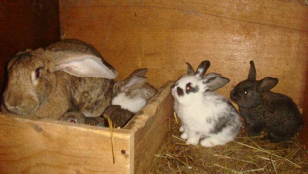 Кролиця з кроленятами в клітці