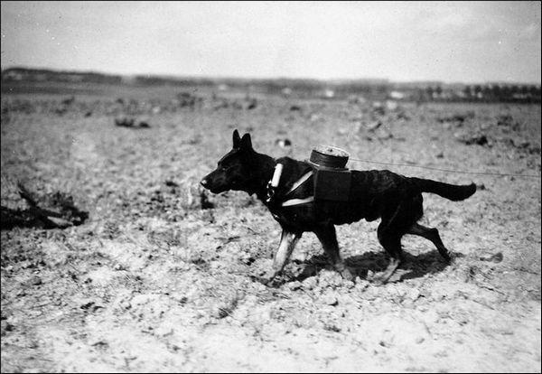 Собака-зв`язківець тягне кабель