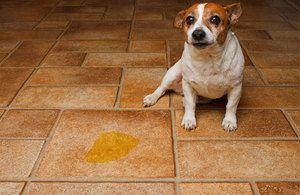 Що робити, якщо собака пісяє будинку