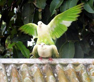 Коли голуби спарюються