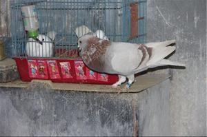 Процес спаровування голубів