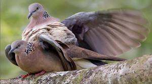 Шлюбний сезон у голубів