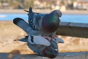Як спаровуються голуби