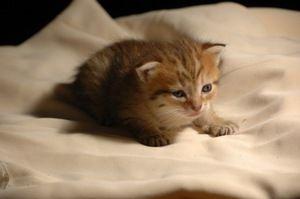 двотижневий кошеня