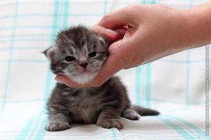 Смугастий двотижневий кошеня повзає