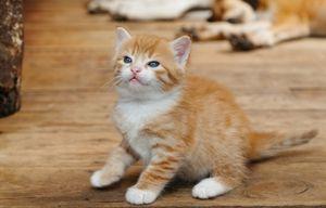 Правильний догляд за кошеням в 2 місяці