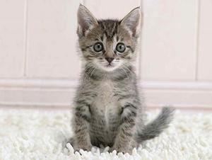 смугасте кошеня