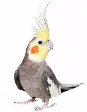 Как да се грижим за папагал от corella