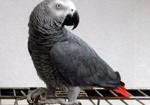 Как да се грижим за папагали яко (сив папагал)